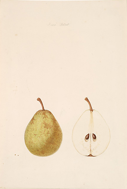 Anthelme-Eugène Grobon (1820 Lyon - 1878 Grigny/Rhone),  Poire Beurre Diedant , pencil and watercolor on paper, 13 7/8 x 9 1/2""