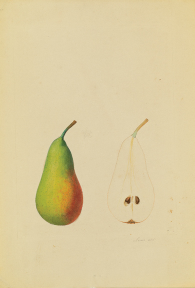 Anthelme-Eugène Grobon (1820 Lyon - 1878 Grigny/Rhone),  Pear: Bellissime d'automme,  pencil and watercolor on paper, 14 x 9 1/2""