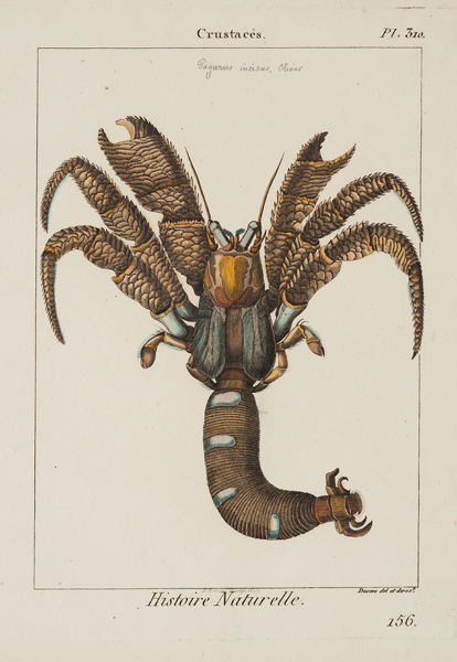 """Drouet, J.J. sculp./ Deseve del. & dirxt., Crustaces, plate 310, c. 1817,etching and engraving with watercolor,11 7/8 x 8 5/8"""""""