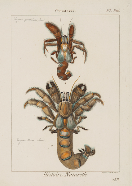 """Deseve del. & dirxt., Crustaces, plate 312, c. 1817,etching and engraving with watercolor,11 7/8 x 8 5/8"""""""