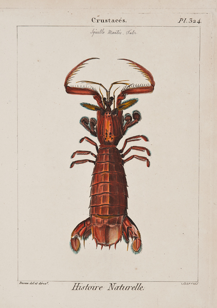 """Barrois, Deseve, Crustaces, plate 324, c. 1817,etching and engraving with watercolor,11 3/4 x 8 7/8"""""""