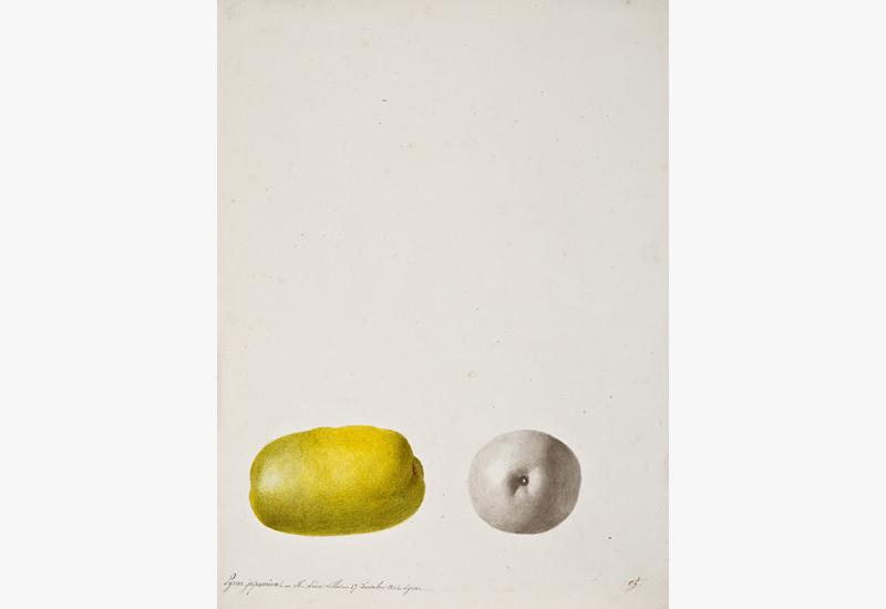 Natural History: Anthelme-Eugène Grobon (1820 Lyon - 1878 Grigny/Rhone),  Quince: Pyrus japonica - M. Leon Lille - 17 Decembre 1844 - Lyon