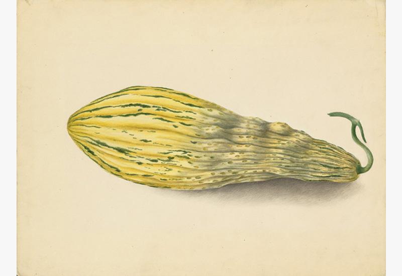 Natural History: French, 19th century,  Yellow Green Squash