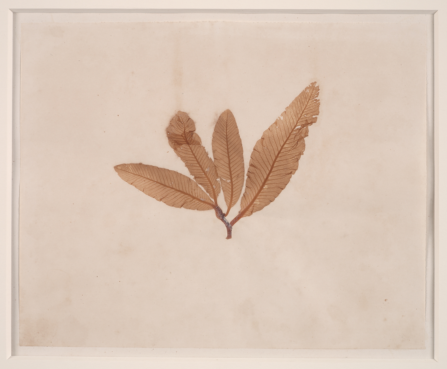 French, 19th century,  Herbaria: Leaves,  dried plant on paper, 18 x 20""