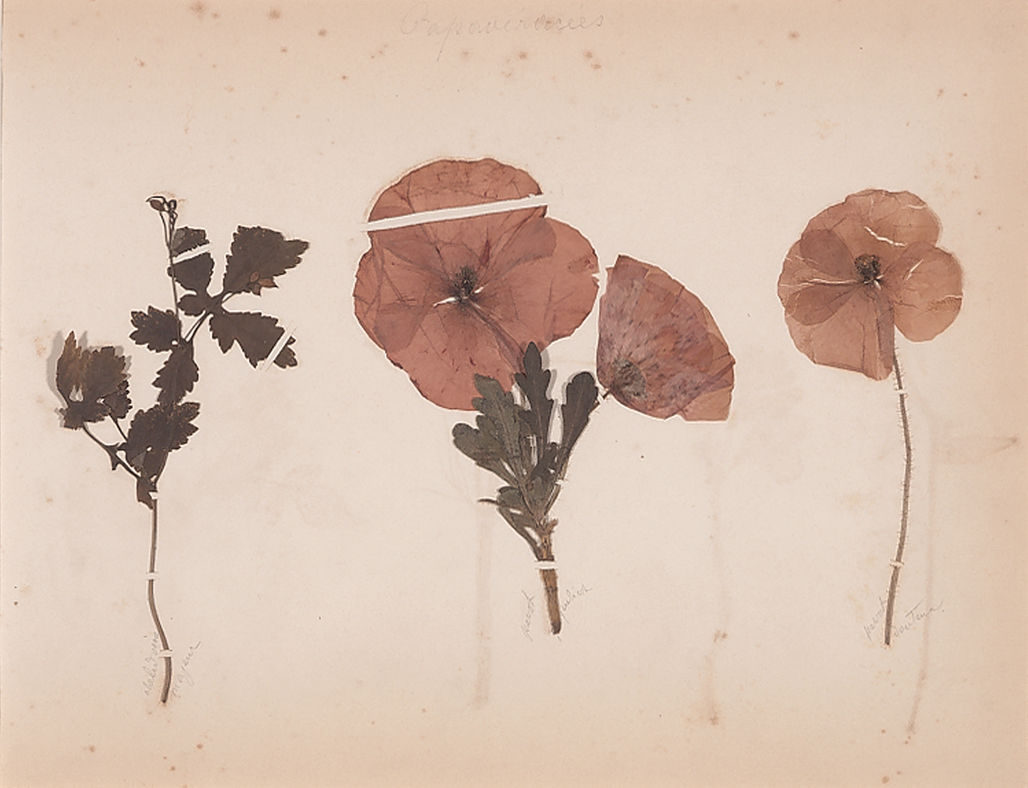 French, 19th century,  Herbaria: Papavéracées (Poppies),  dried plant on paper, 18 x 20""