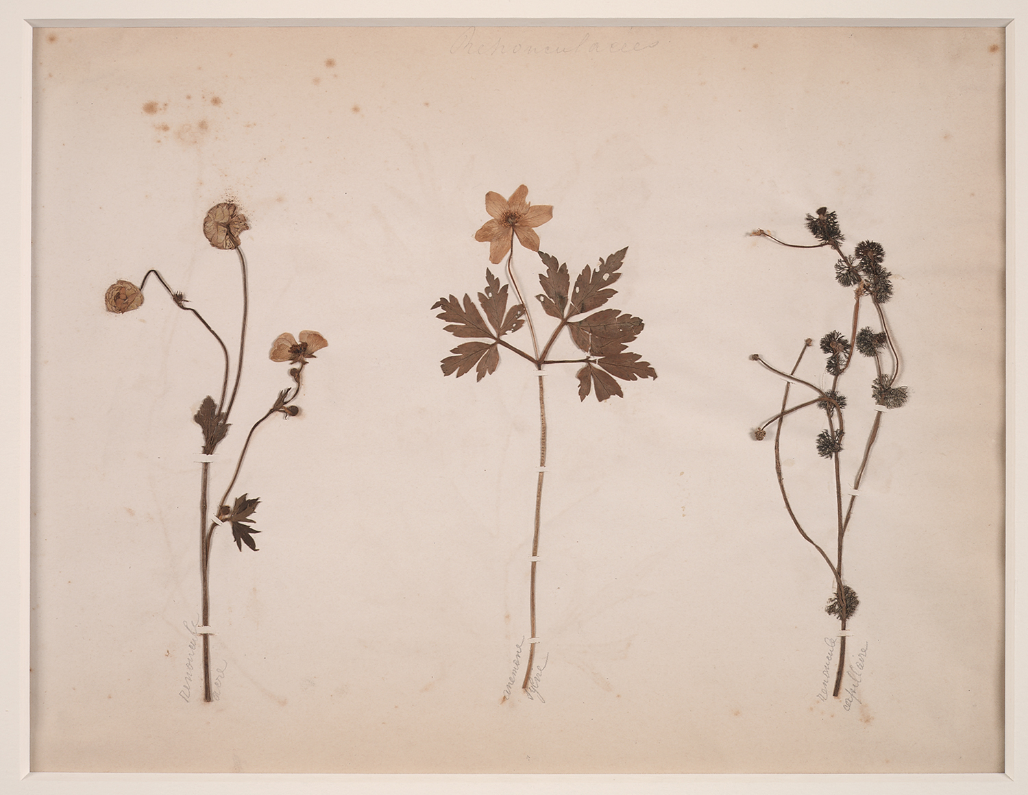 French, 19th century,  Herbaria: Renoncules - Anemone,  dried plant on paper, 18 x 20""