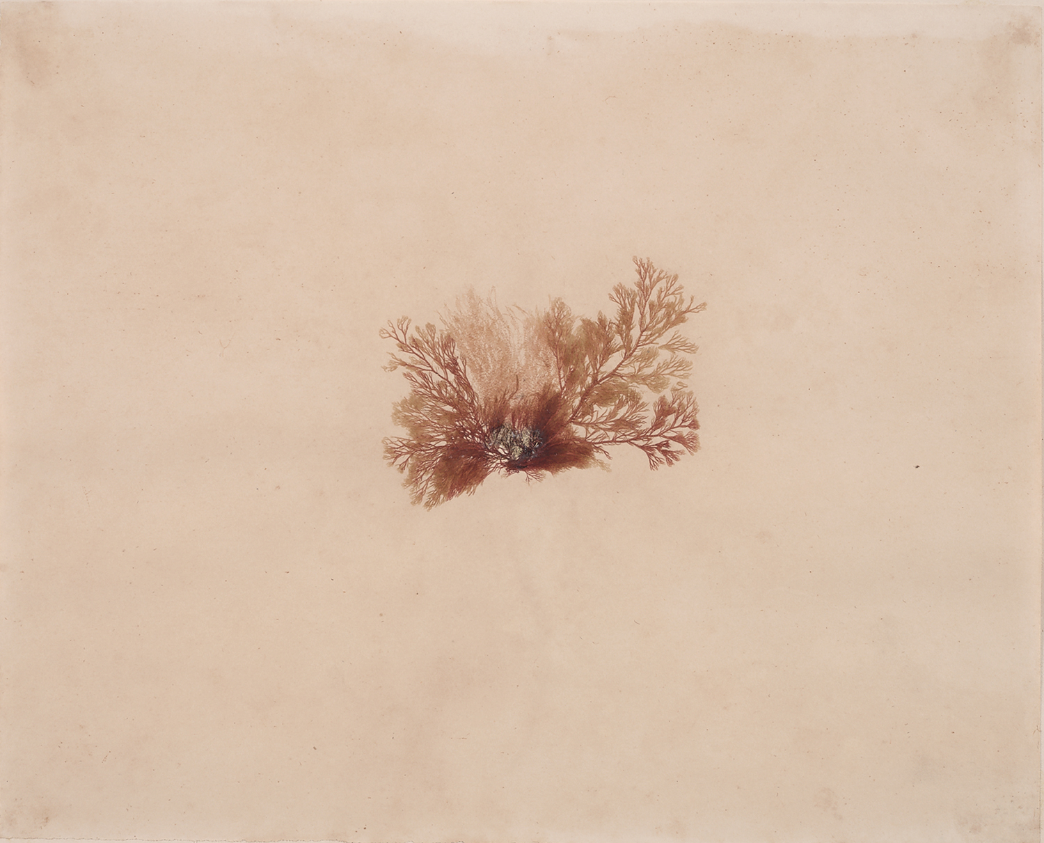 French, 19th century,  Herbaria: Red Algae,  dried plant on paper, 18 x 20""
