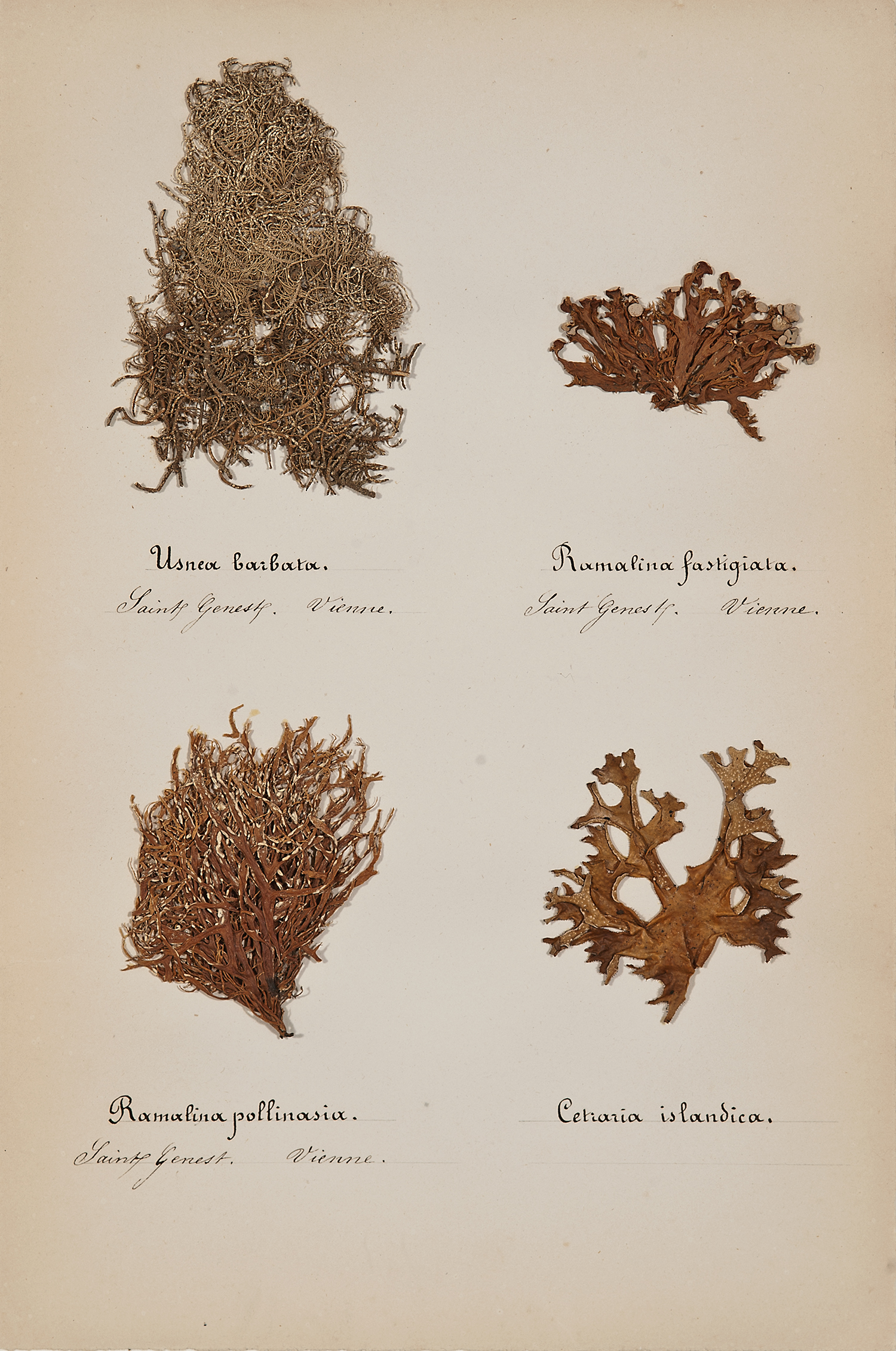 French, 19th century,  Herbaria: Mosses 5,  pressed specimens on paper, 16 3/4 x 12 3/4""