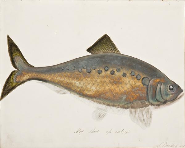 Books/Bound Samples: Sarah Bowdich (British, 1791-1856),  Fresh Water Fishes of Great Britain , 1828