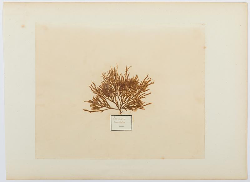 Herbaria:  Eclocipus tomentasus (algae)