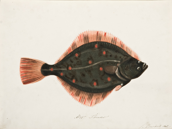 D25_Flounder.jpg