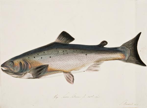 D29_Salmon.jpg