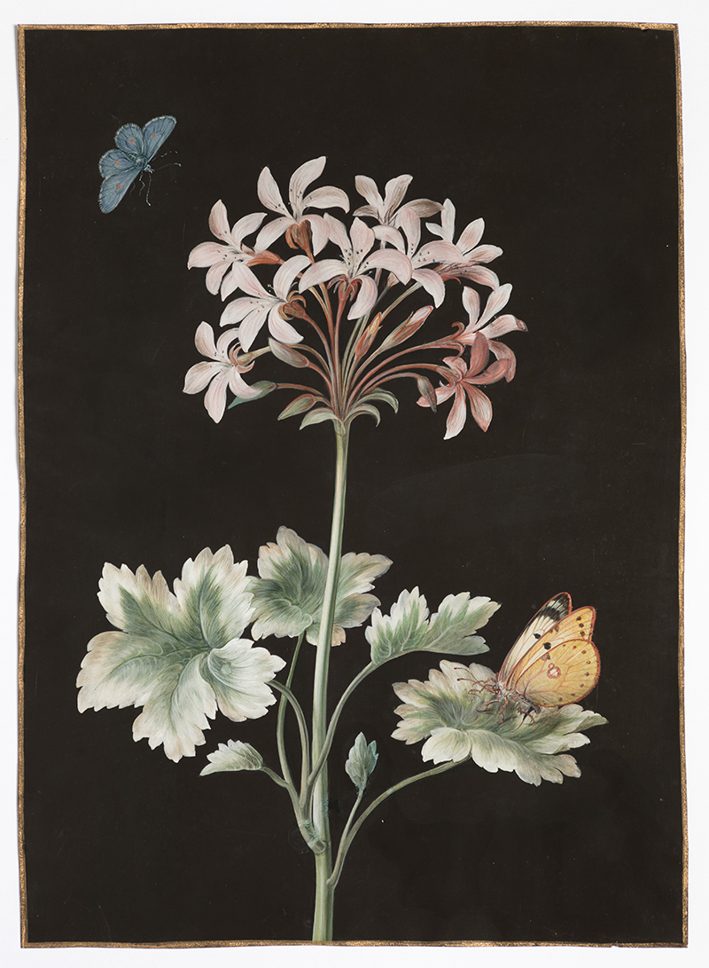 Barbara Regina Dietzsch (Nuremberg, 1706-1783),  Géranium (geranium),  c. 1760, gouache, watercolor and gold border on vellum, 11 1/2 x 8 1/4""