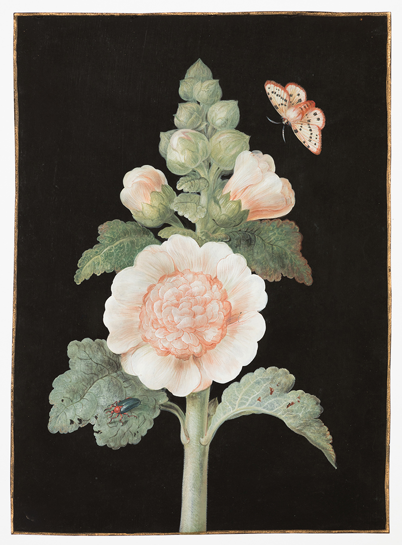 Barbara Regina Dietzsch (Nuremberg, 1706-1783),  Rose Trémière (hollyhock),  c. 1760, gouache, watercolor and gold border on vellum, 11 1/2 x 8 1/4""