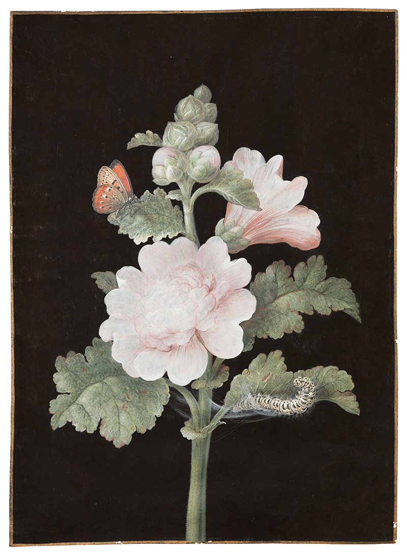 Barbara Regina Dietzsch,  Rose Trémière (hollyhock),  c. 1760, gouache, watercolor, gold border on vellum, 11 1/2 x 8 1/4""