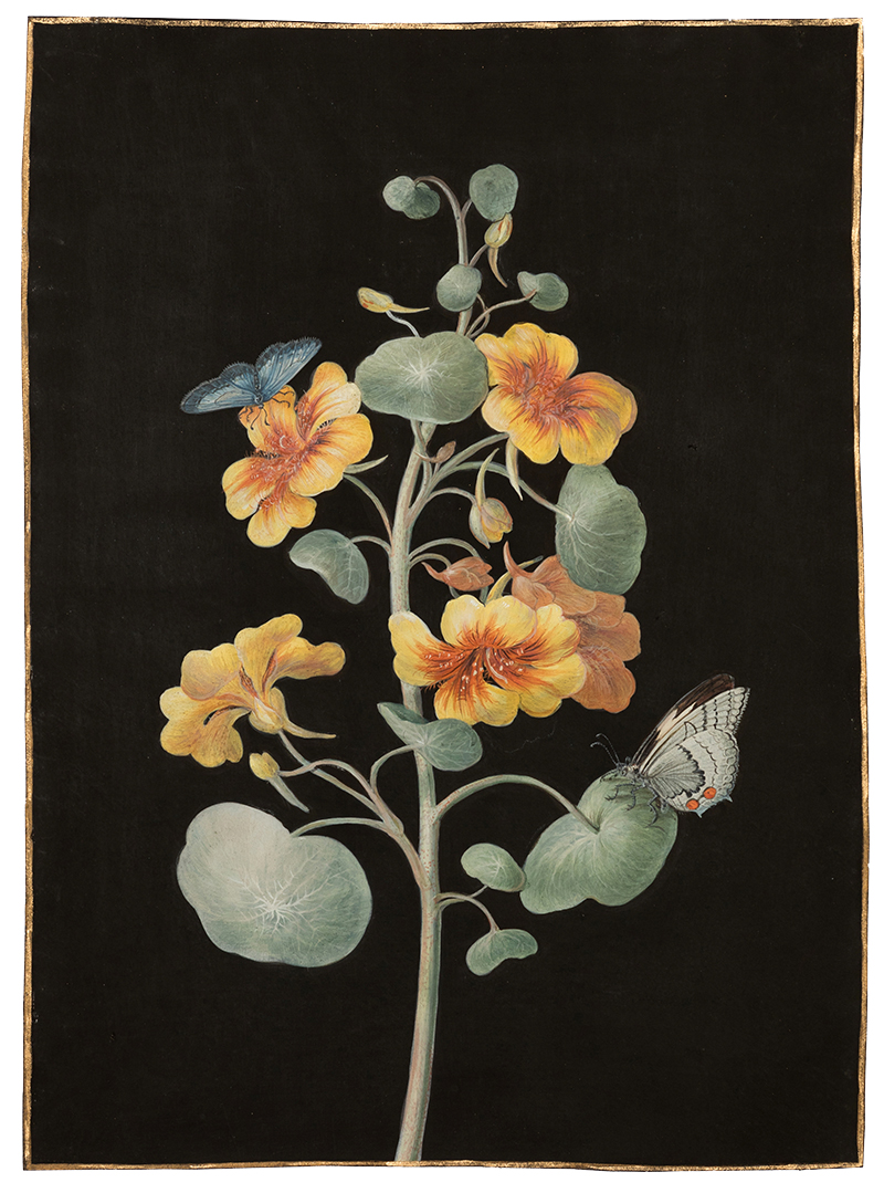 Barbara Regina Dietzsch,  Orange Nasturtium,  c. 1760, gouache, watercolor, gold border on vellum, 11 1/2 x 8 1/4""