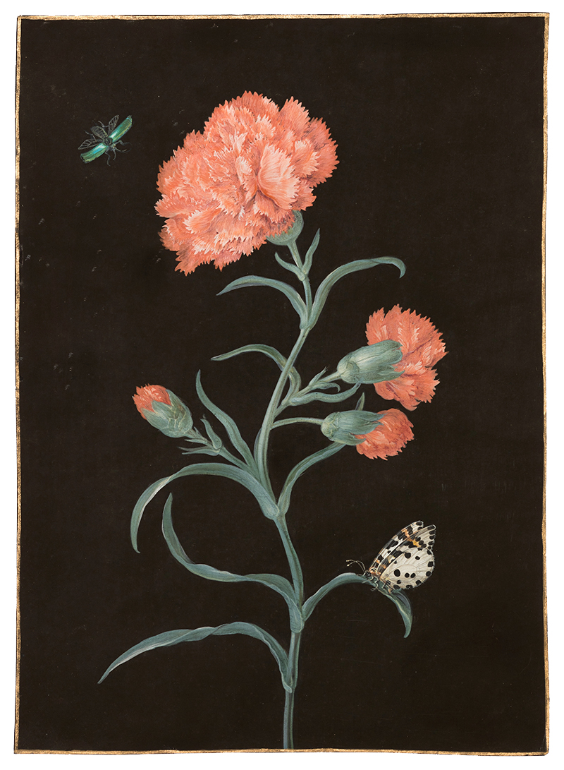 Barbara Regina Dietzsch,  Red Carnation,  c. 1760, gouache, watercolor, gold border on vellum, 11 1/2 x 8 1/4""