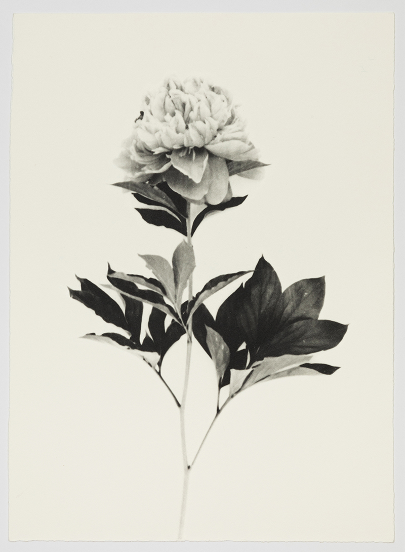 Sachiko Morita,  Pivoine , 2017, gelatin silver print on watercolor paper, prepared with a brush, 11 1/2 x 8 1/4""