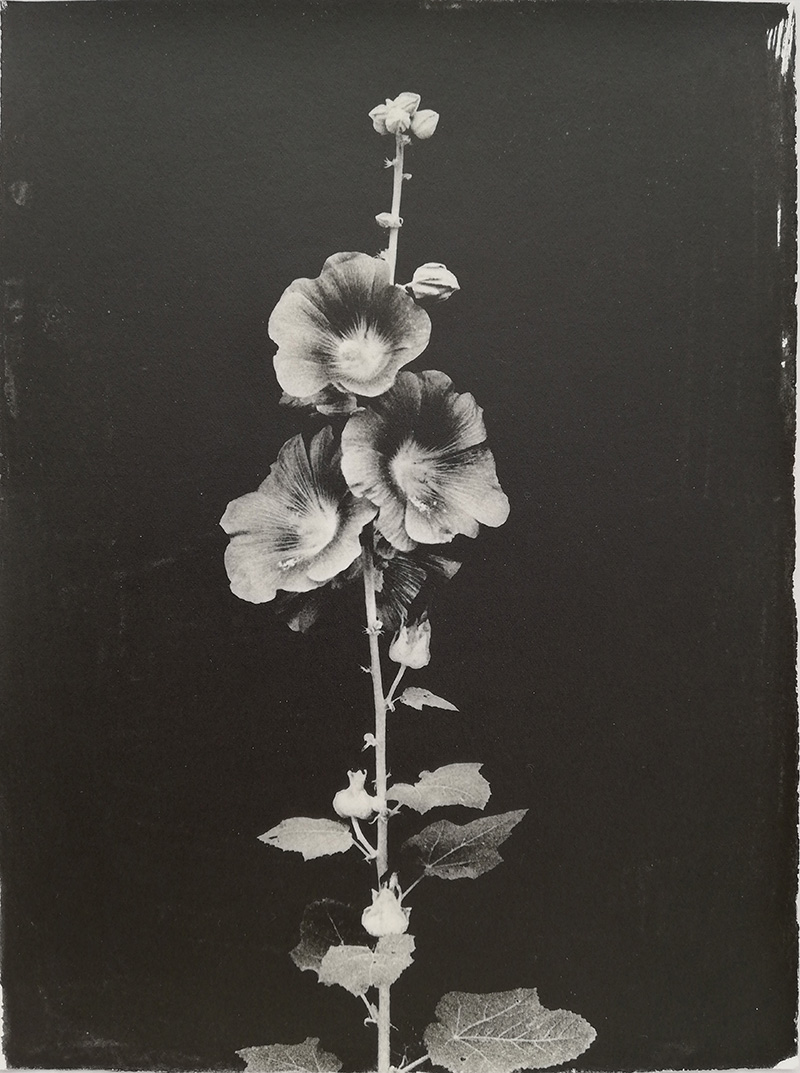 Sachiko Morita,  Hollyhock , 2017, gelatin silver print on watercolor paper, prepared with a brush, 11 1/2 x 8 1/4""