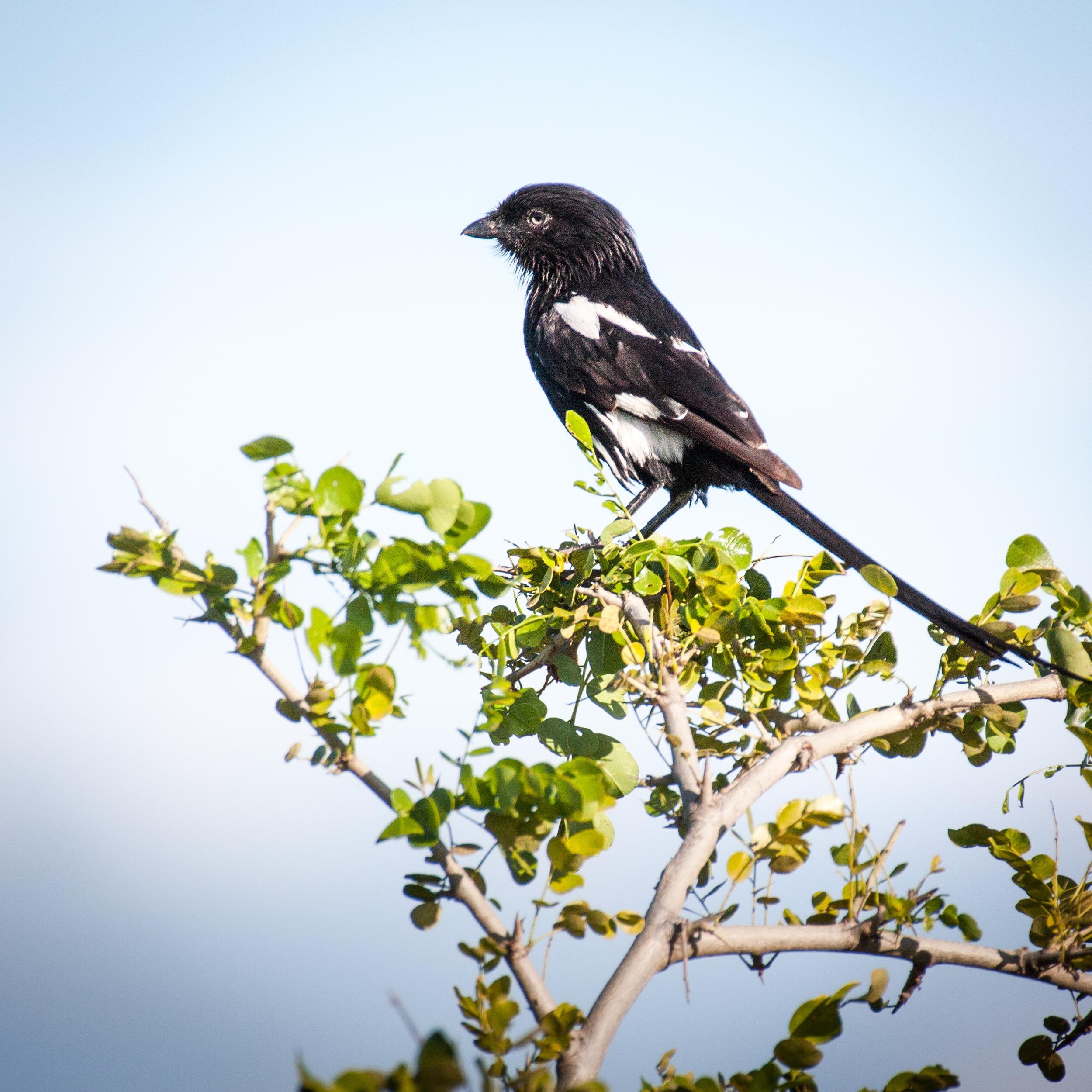 _MG_0403 Magpie Shrike.jpg