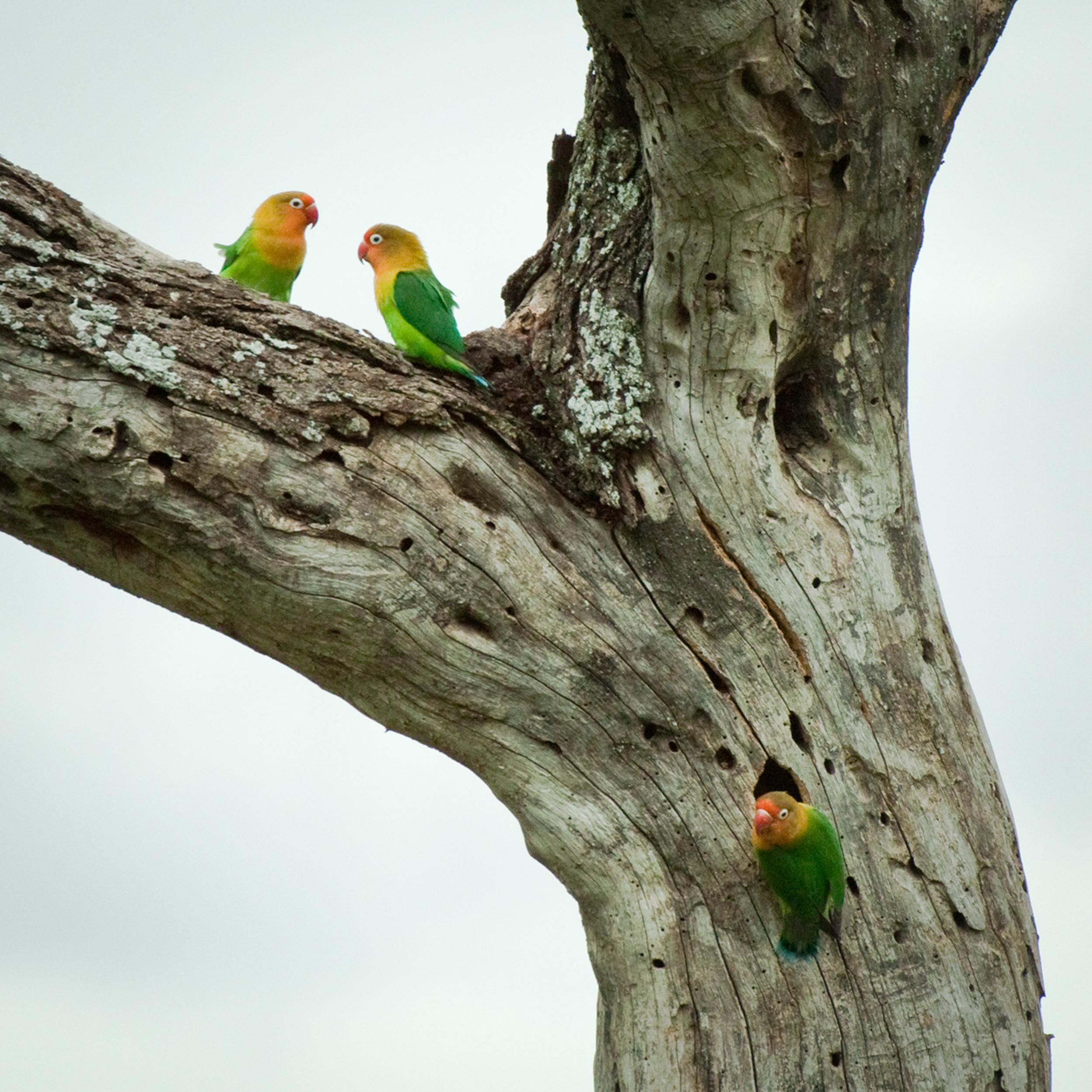 _MG_9399_PRWF_Fischer'sLovebirds.jpg