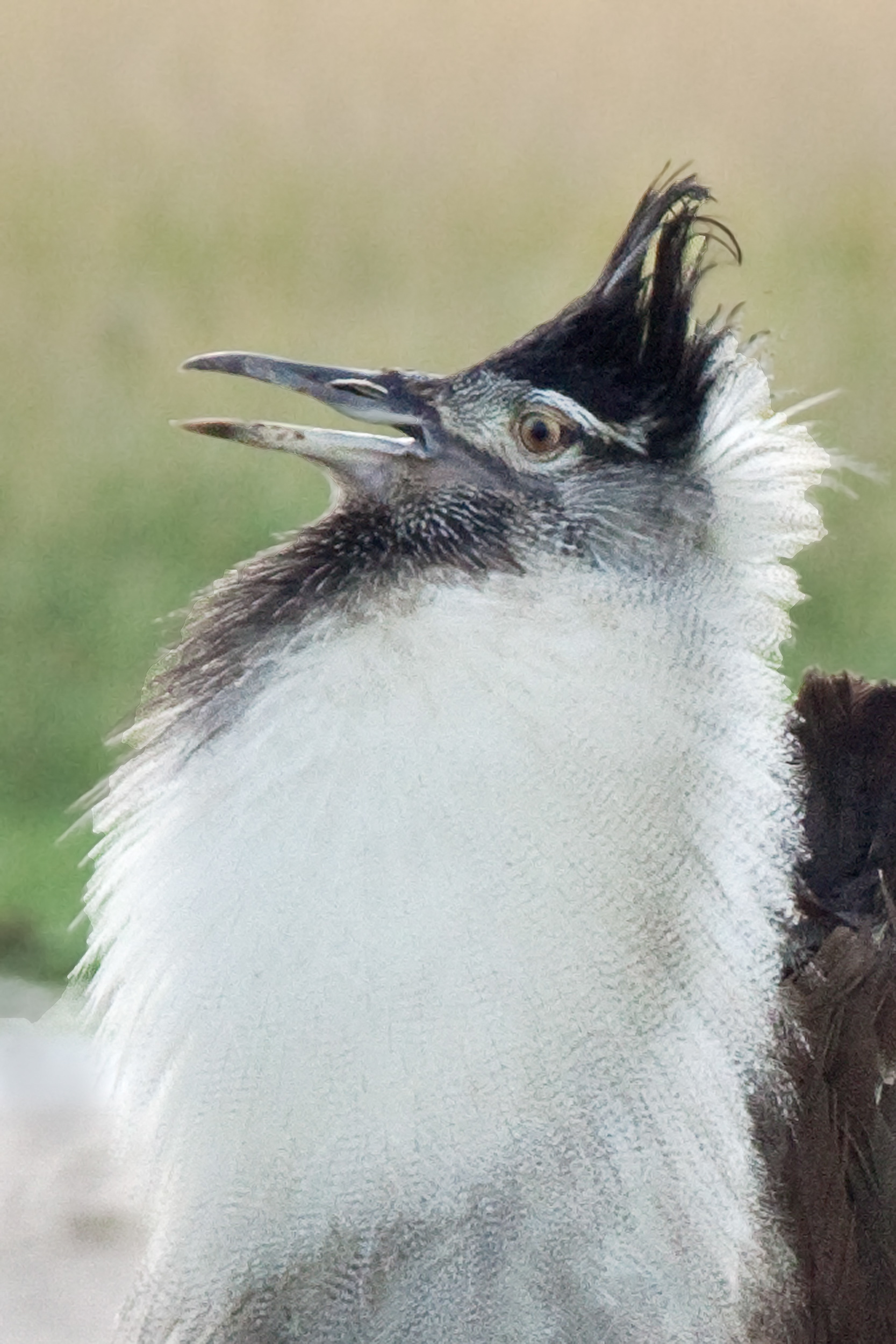 KoriBustard(Breedingplumages).jpg
