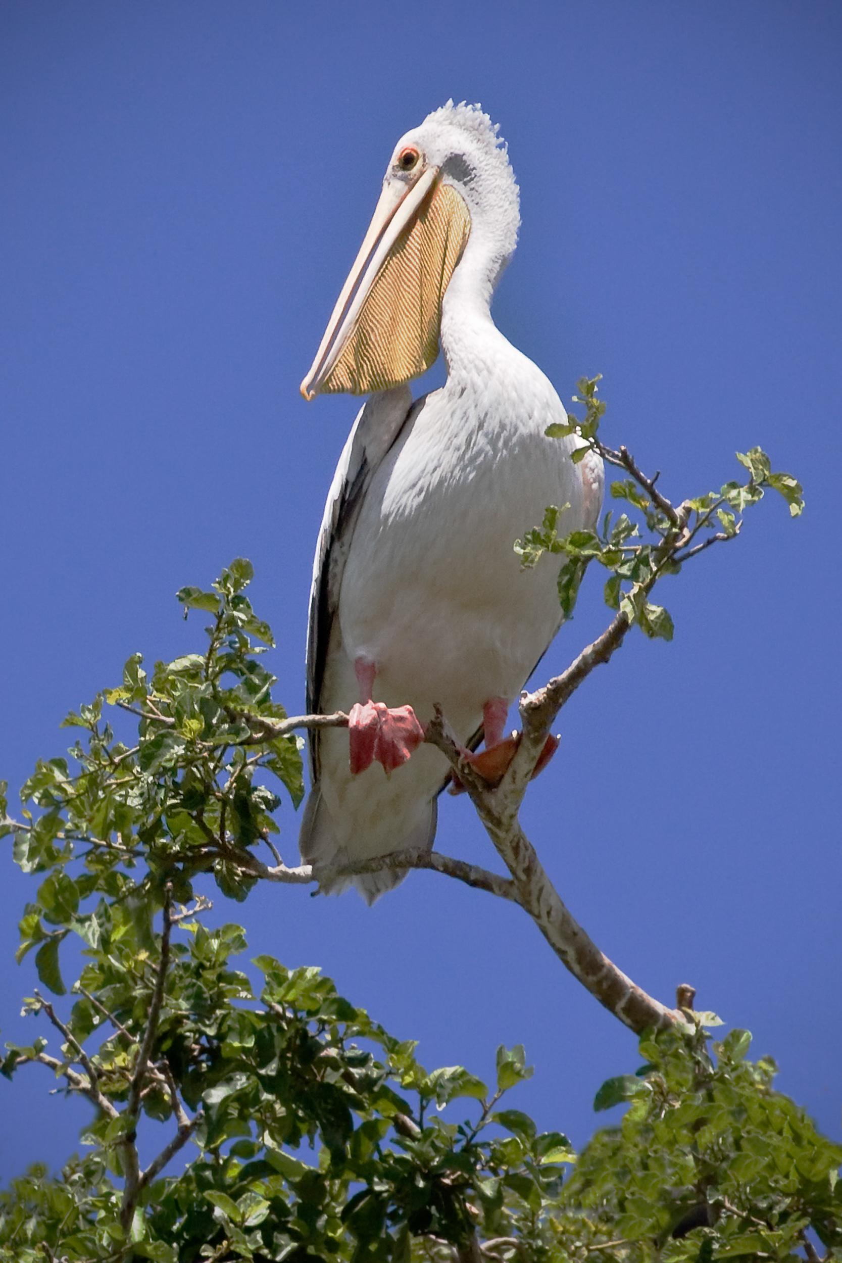Pink-Backed Pelican.jpg