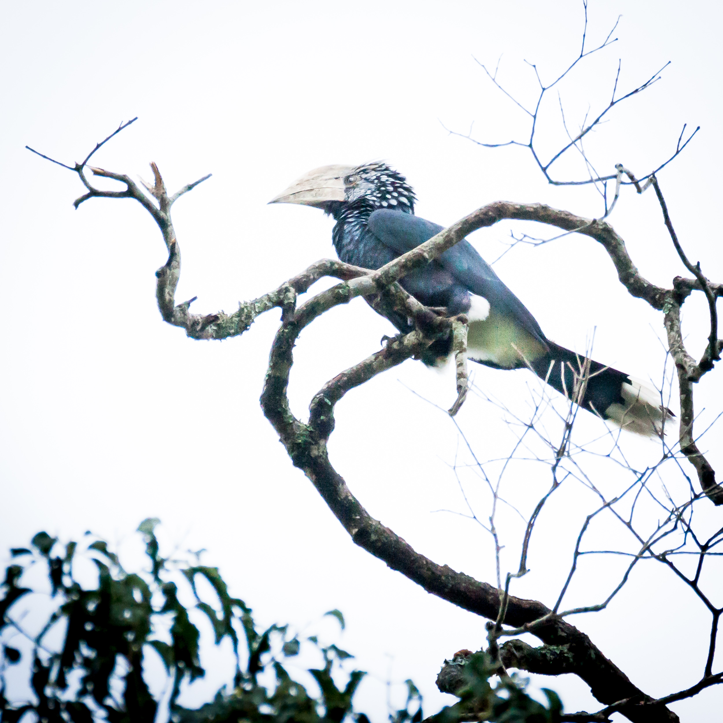 Silver Cheeked  Hornbill.jpg