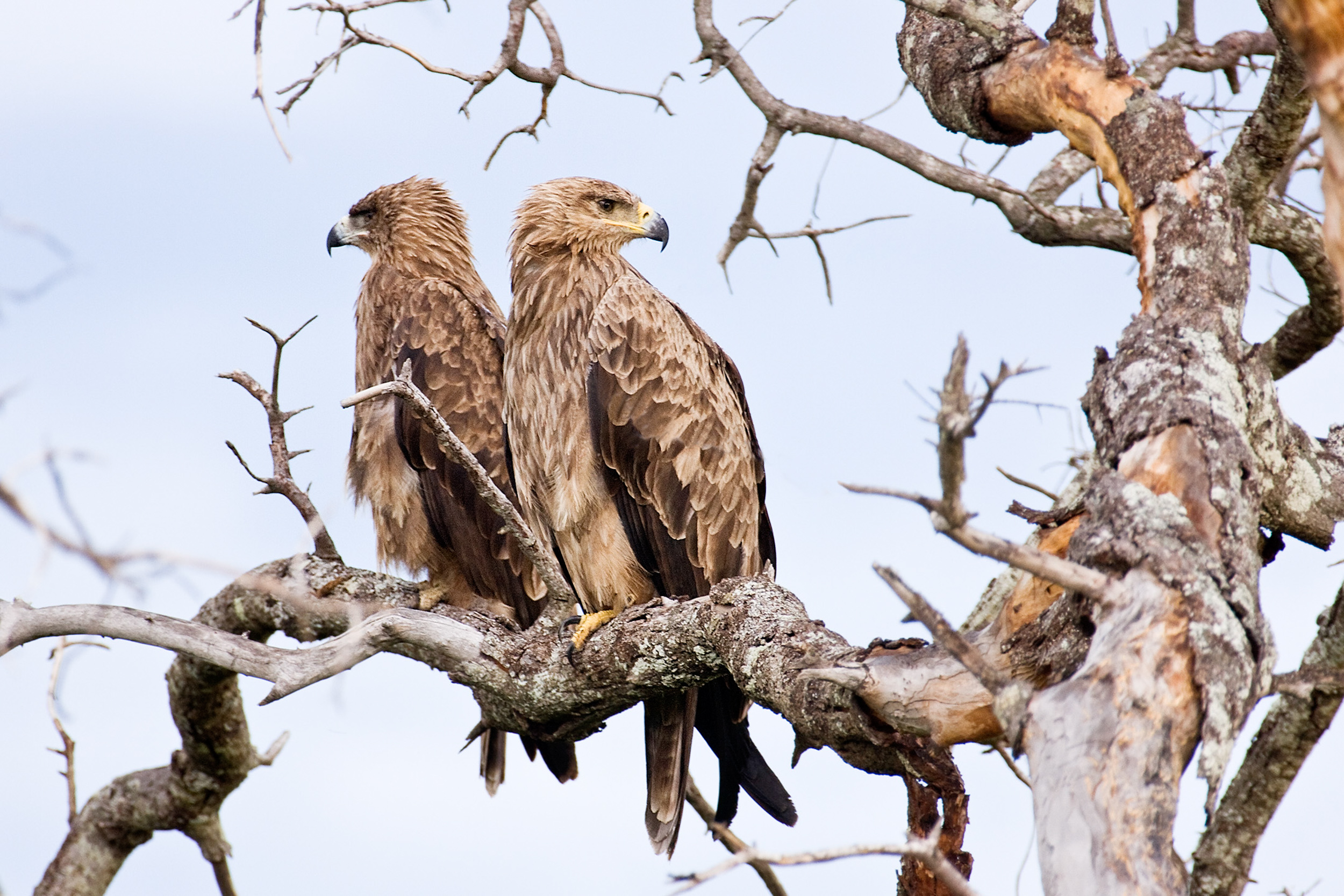 Tawny Eagles3.jpg