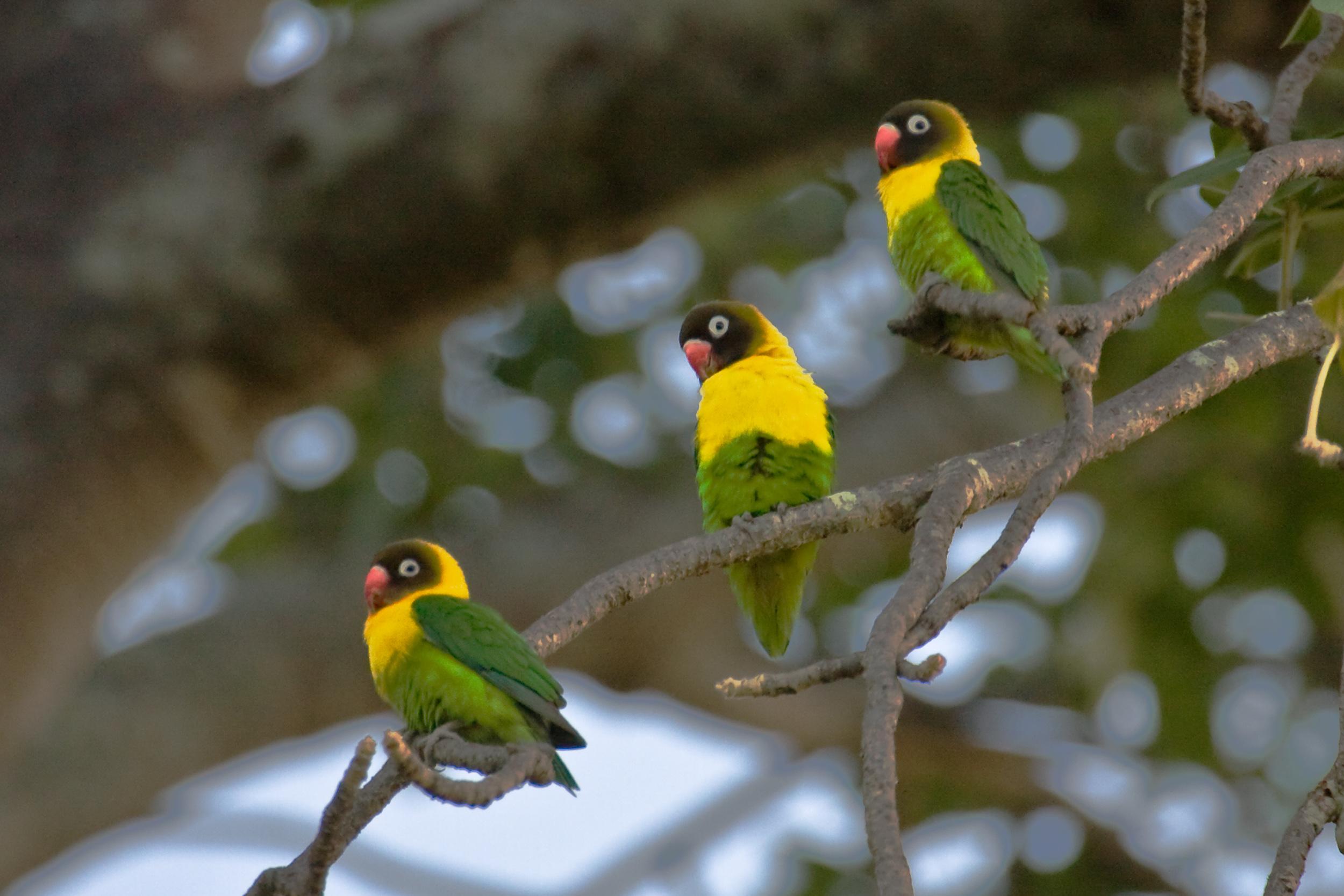 Yellow-Collared Lovebird_PRWF.jpg