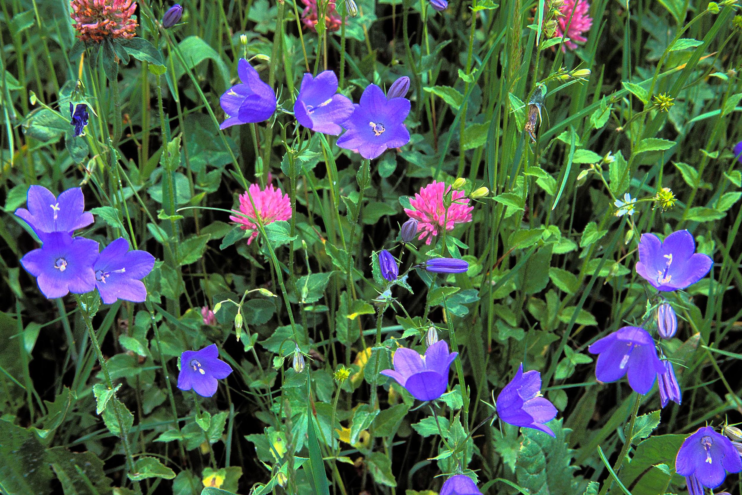 SwissWildflowers.jpg
