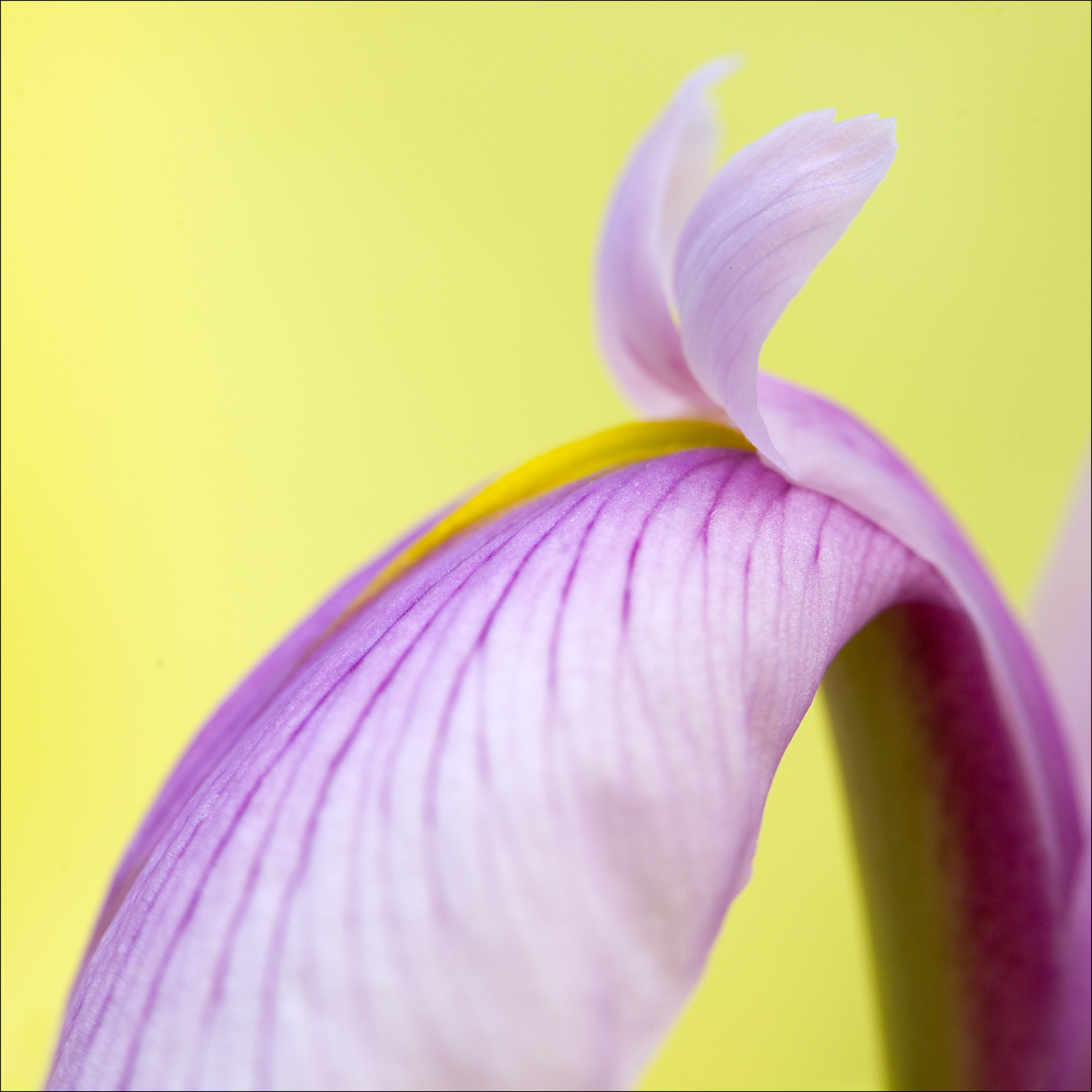 Lavendar and Yellow 1.jpg