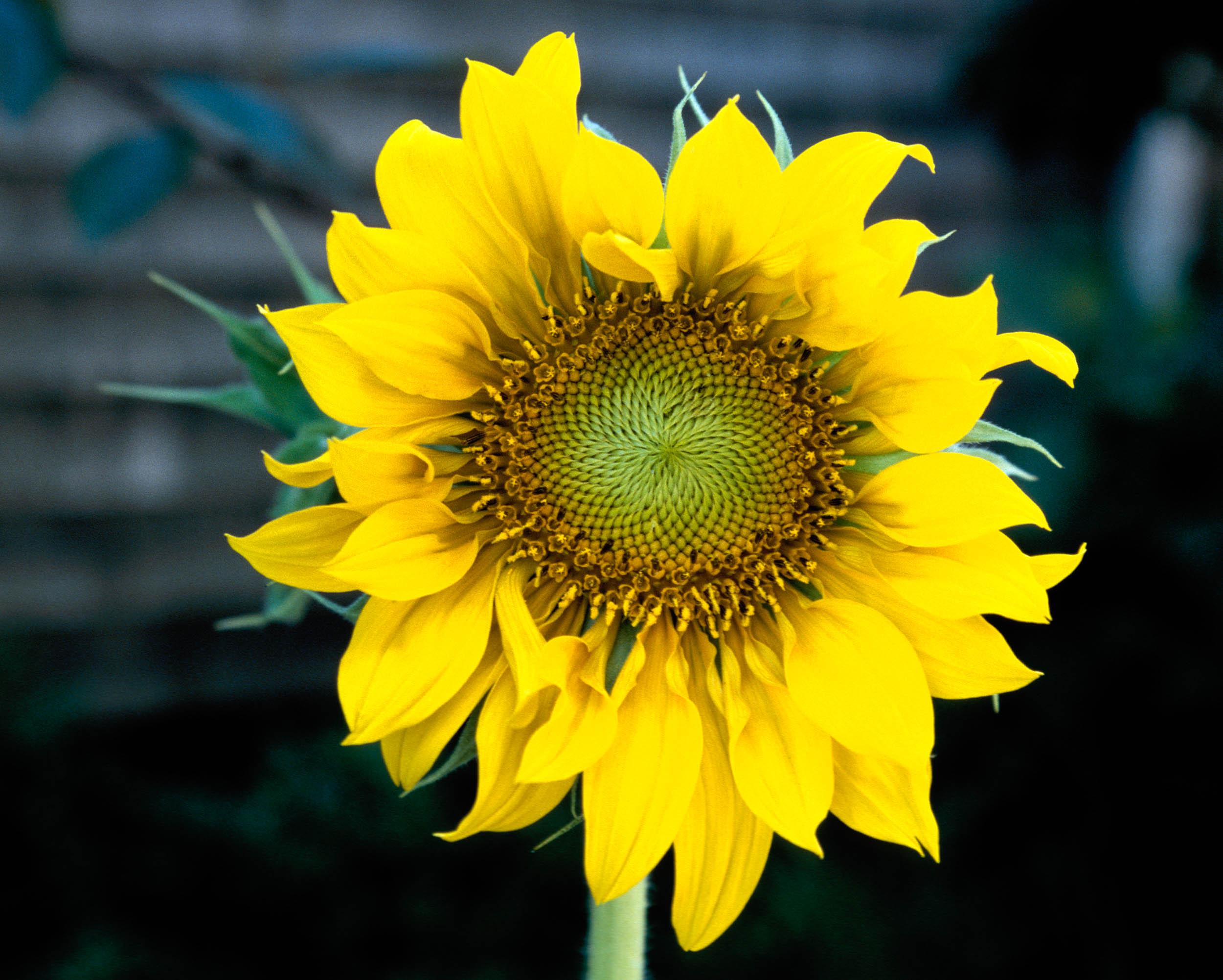 Sunflower1a.jpg