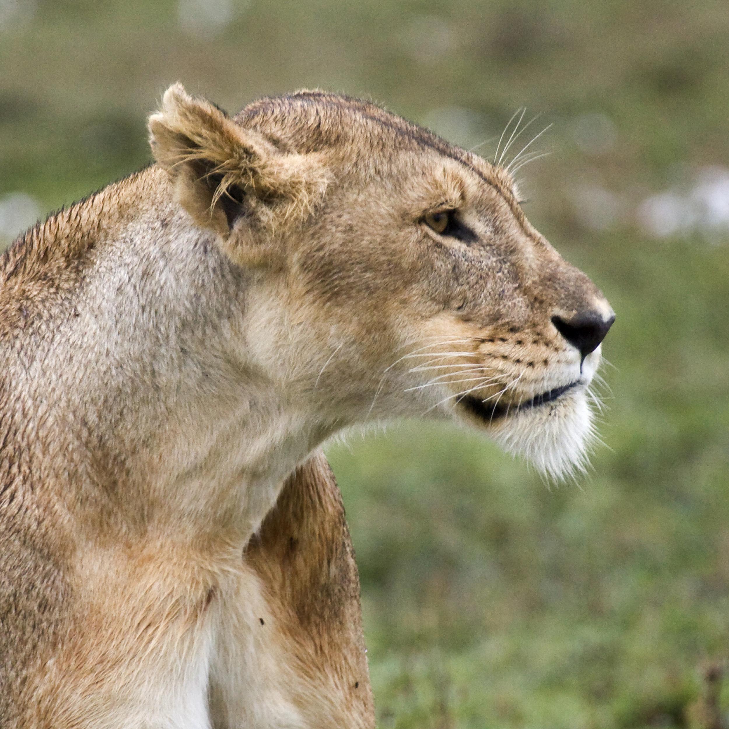 LionessWithAttitude.jpg