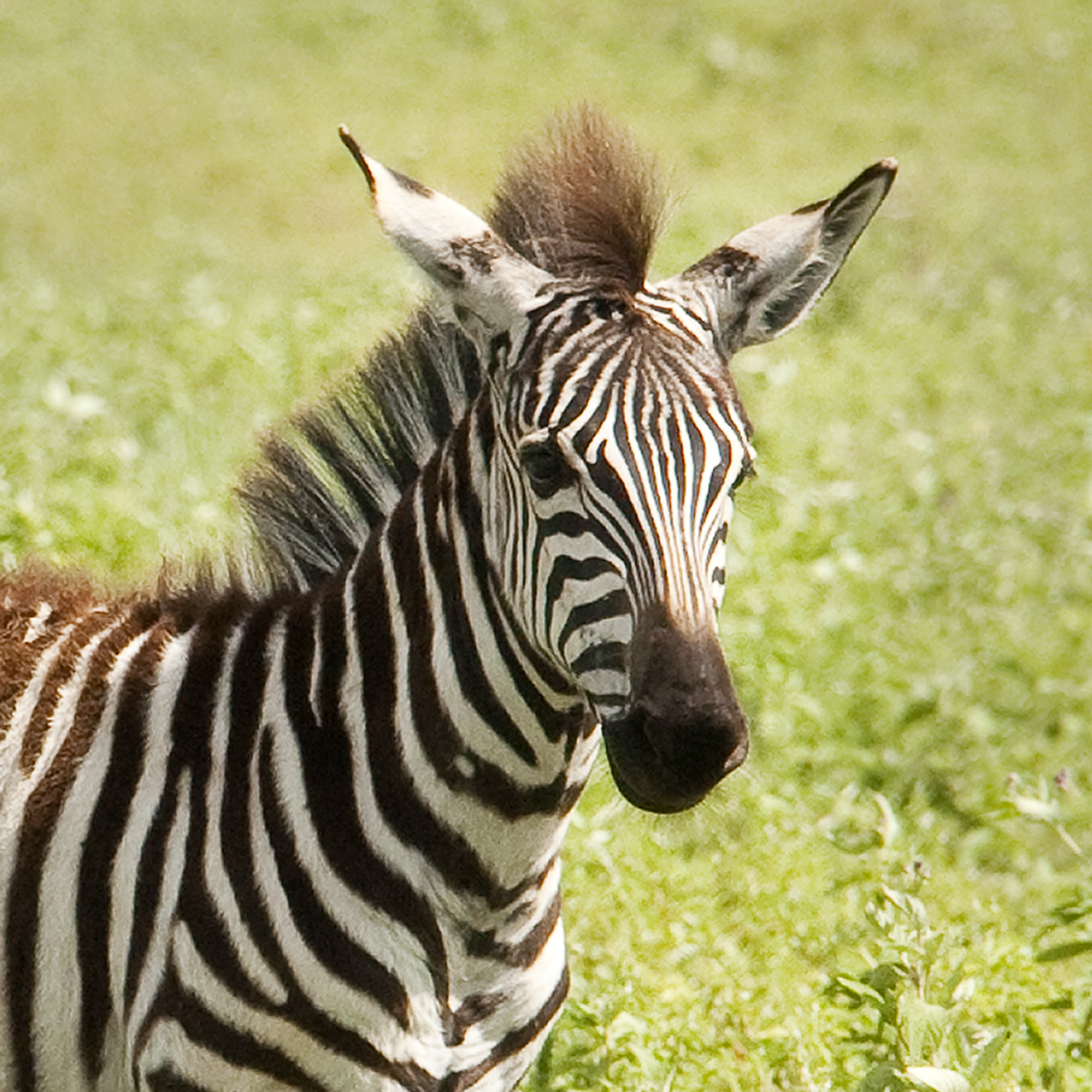 Youngster with Stripes.jpg