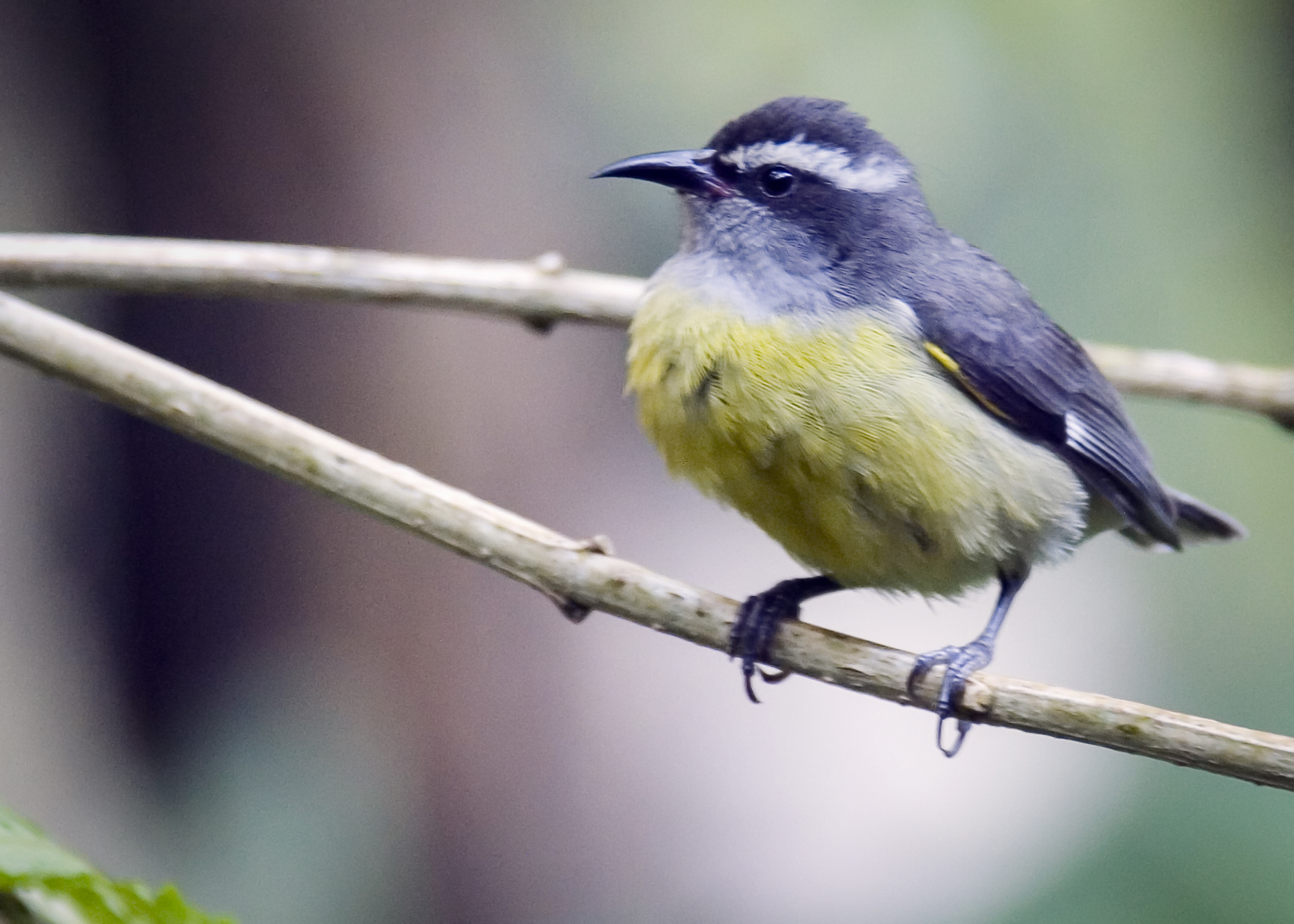 C1 yellowbird2 WF.jpg