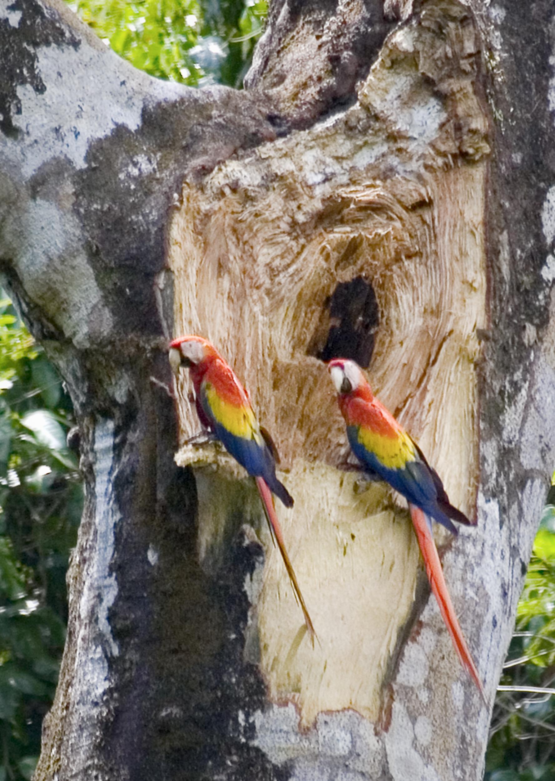 Scarlet Macaw1-RP-WF 5x7.jpg