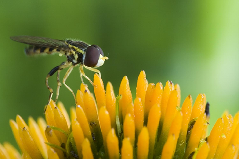 Flower Fly.jpg
