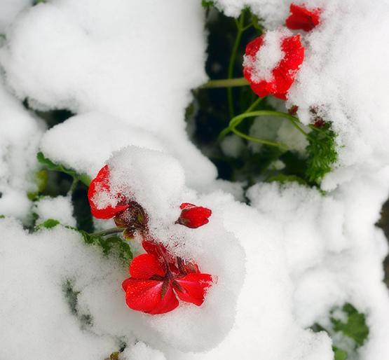 Late Summer Snow - Global Dish - Stephanie Arsenault