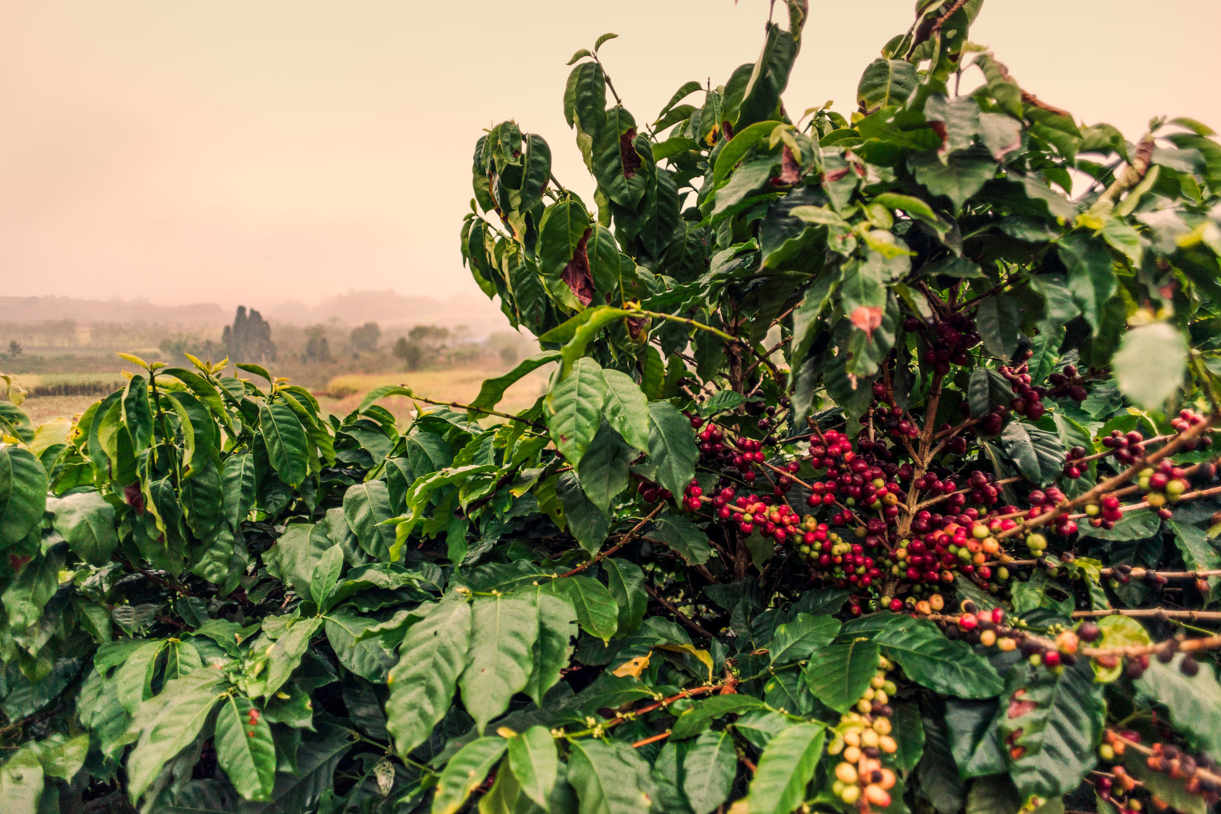 Coffee Plants - Web Size - 7 - Banka.jpg