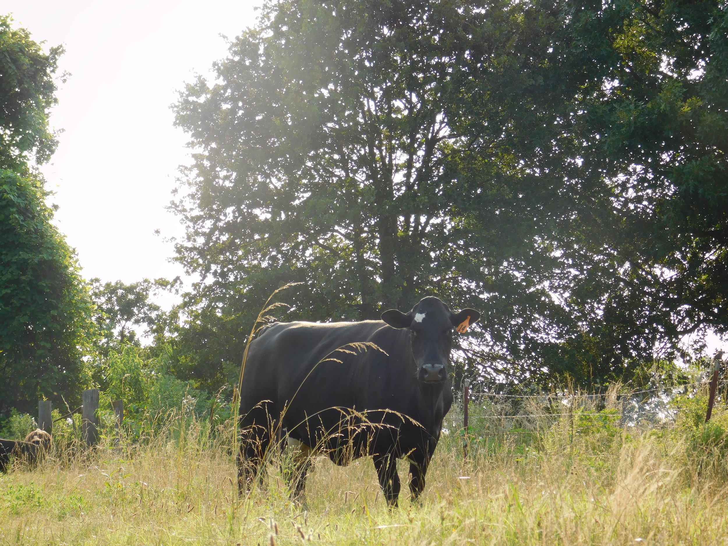 cows-032.jpg