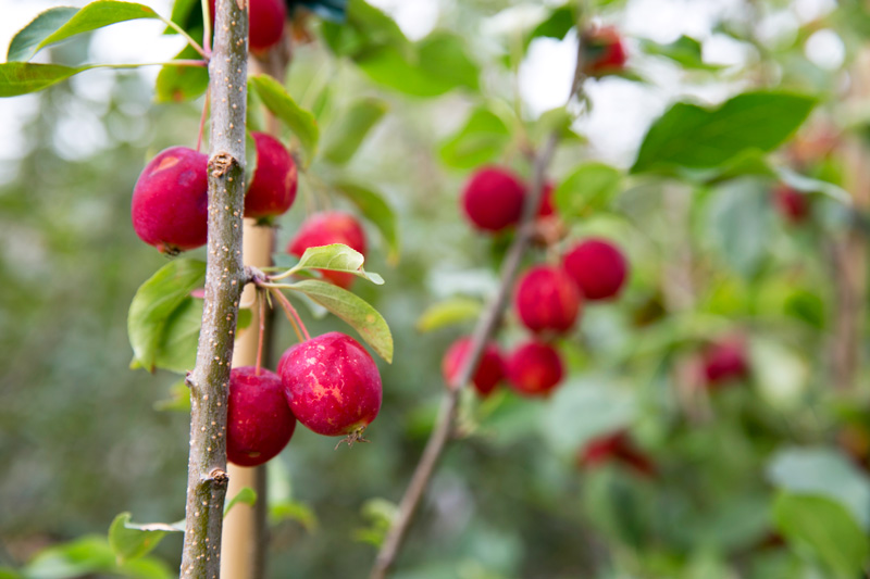 CrabApple-Tree-Pruning-Web.jpg