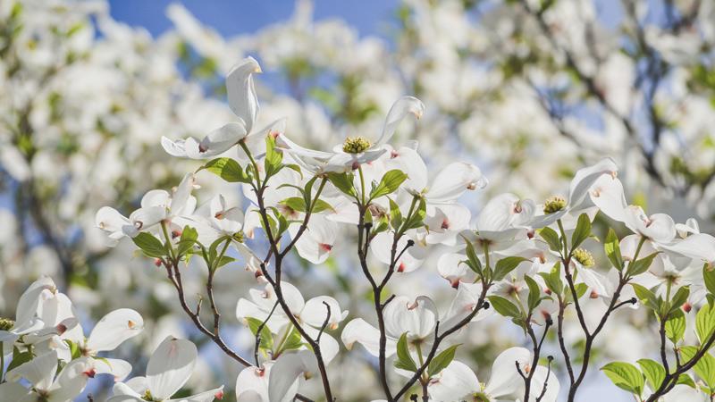 Dogwood-tree-blossom-web.jpg