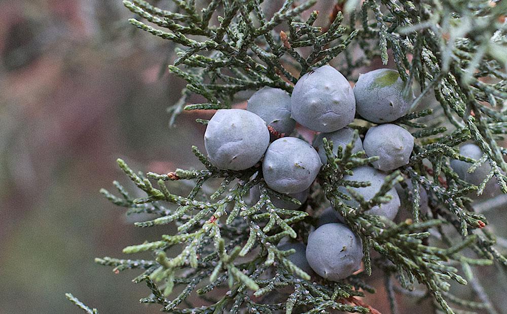 winter grapes