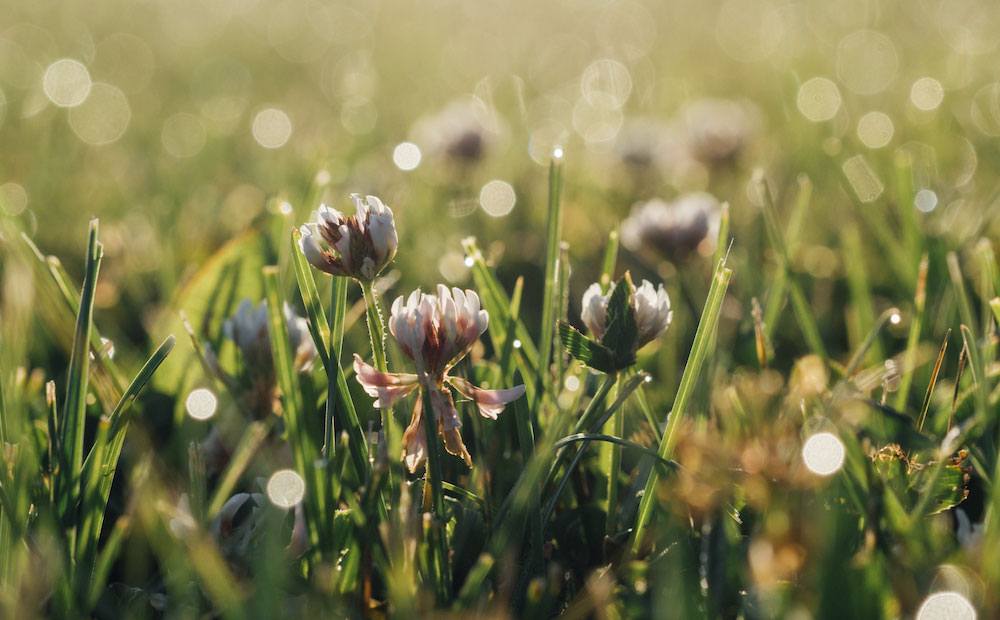 spring lawn white clover garden