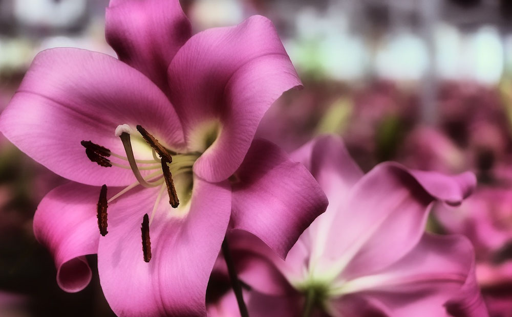 lilies purple