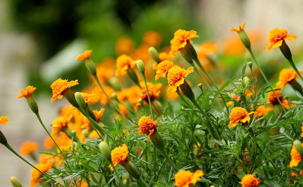 mosquito repelling plants marigold