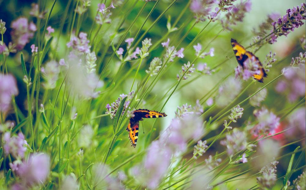 butterflies in spring garden