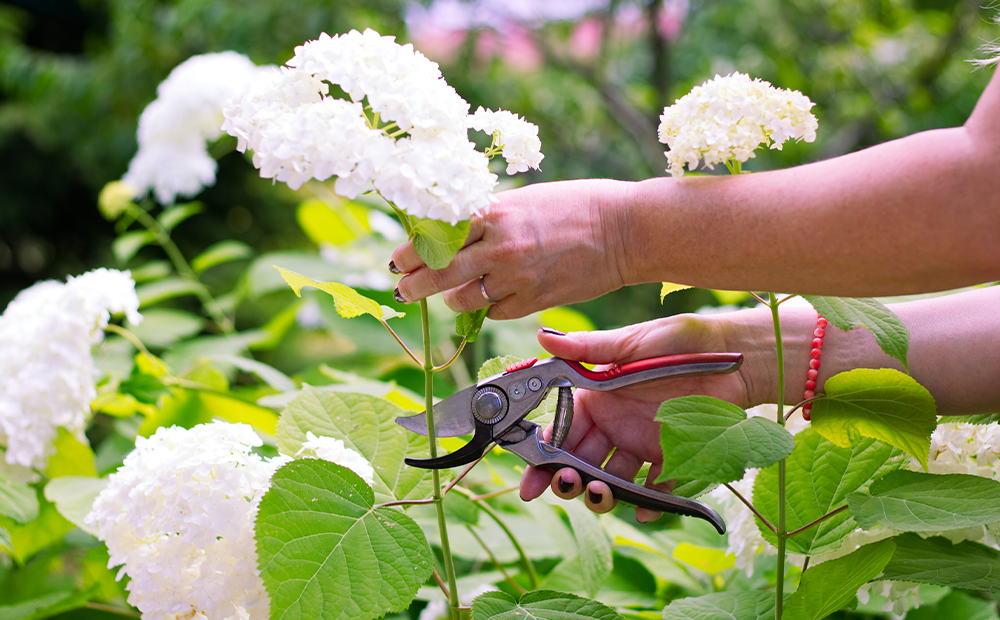 prune-hydrangeas-white-indianapolis.png