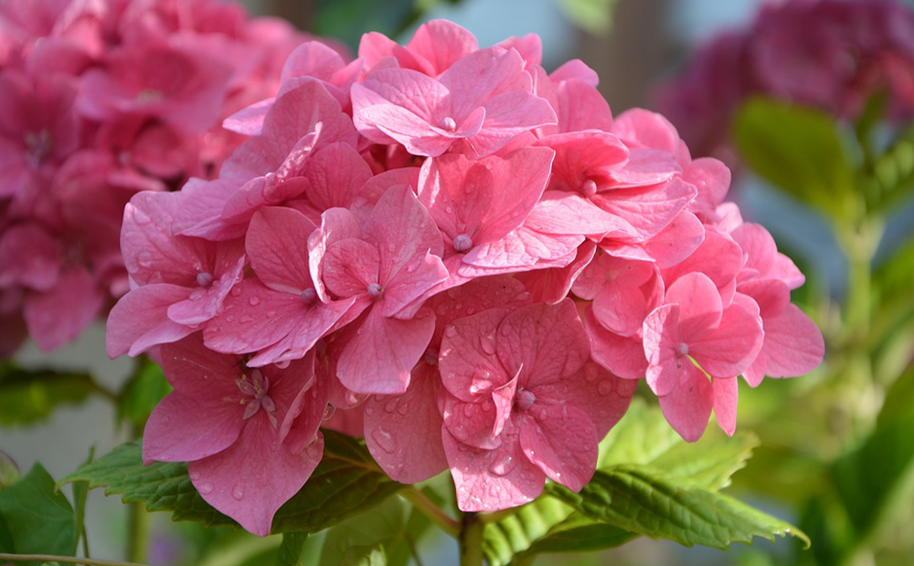 pink-hydrangea-prune-indianapolis.png